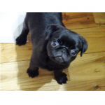 犬,可愛い,パグ,黒パグ,画像