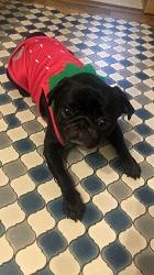 黒パグ成犬